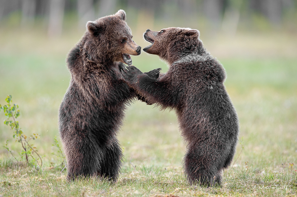 Watching this image makes me smile. These two 1 1/2 year old bears where fighting and playing for a good hour. Training makes perfect I guess.   f4, 1/400sec, ISO 1800