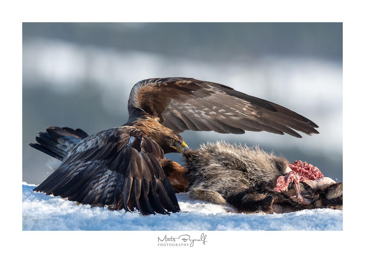 Golden Eagle on a Badger kill.