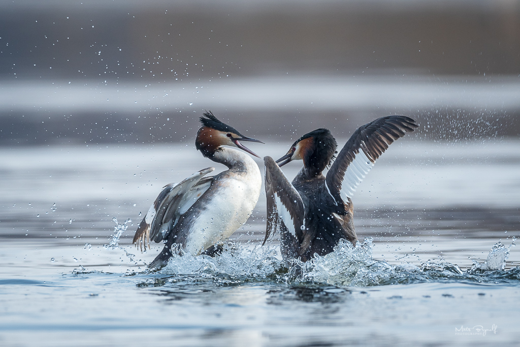 Great crested grebe.jpg