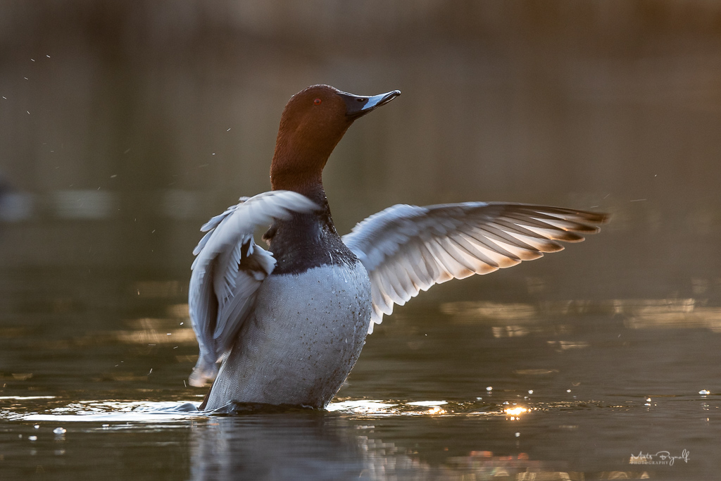 Common pochard.jpg