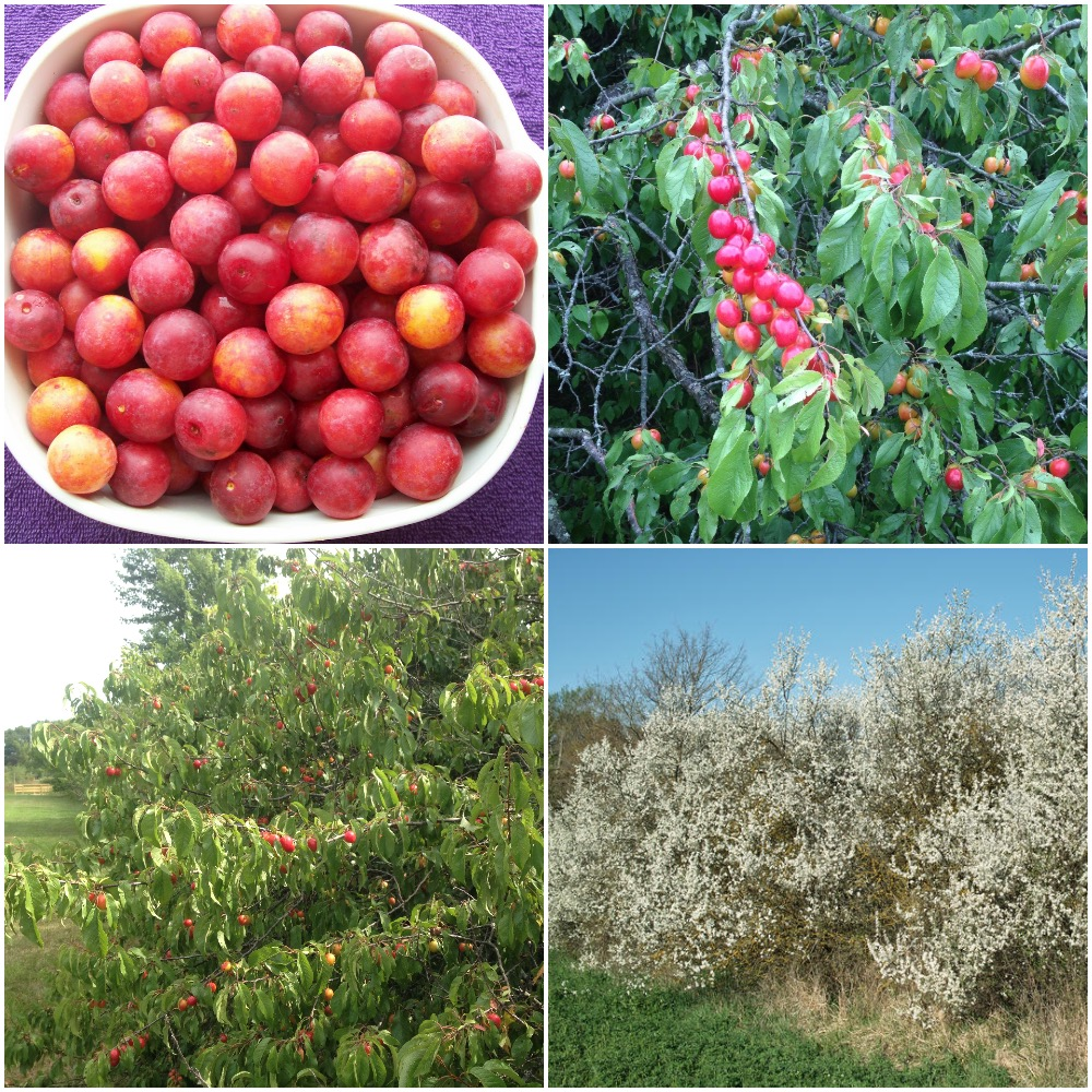 Wild plums, and indigenous plum tree capable of producing heavy yields with a wide variety of flavor profiles. The rush of white blooms in the spring are pollinated by native bees and other native pollinators.