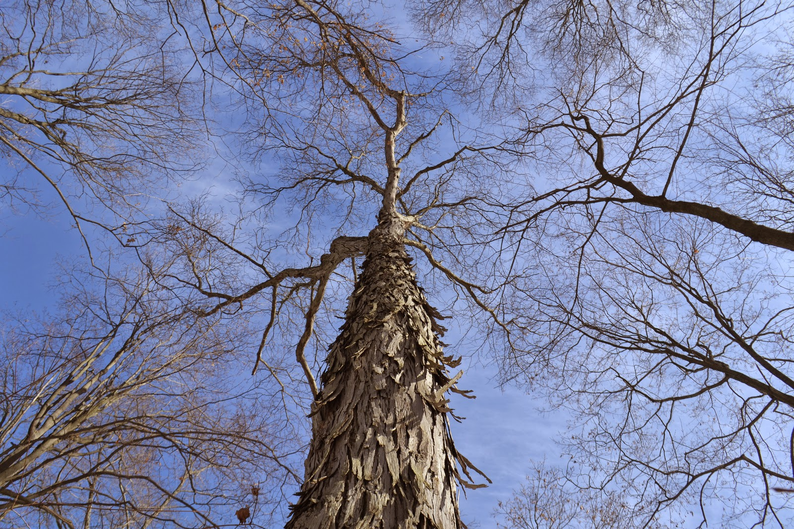 Shagbark Hickory is separated from Shellbark Hickory most easily by the leaflet of 5, not 7 or 9.