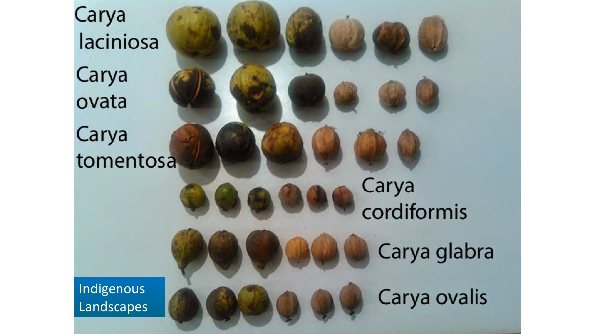 Each Hickory species has fairly variable nut expressions. This is 3 samples per species.