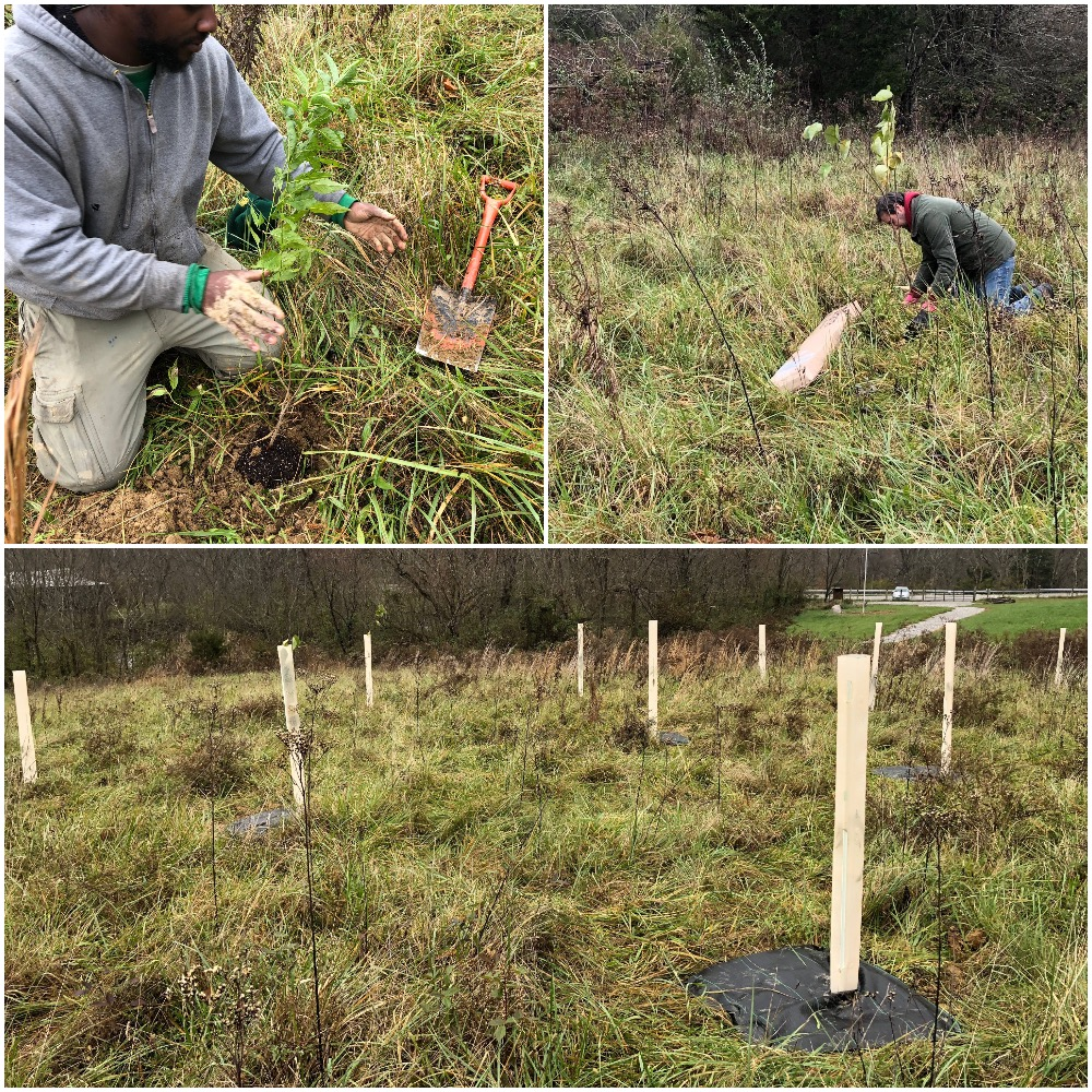 This fall we recently completed the first phase of a demonstration for our native thicket conservation project in collaboration with Kenton County Conservation District and Plantra who creates the tree tubes within which the native thicket species are temporarily protected within. The first phase of this thicket was only Prunus hortulana (Wild Goose Plum) and Eastern Redbud. Next fall we'll add hawthorn species, Dogwood species, Viburnum species, Hazelnuts, and Sweet Crabapples.