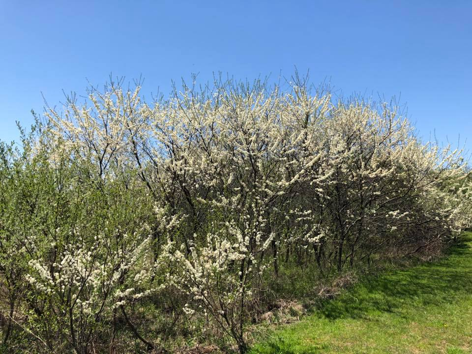 This is an American Wild Plum (Prunus americana) thicket that is beginning to be invaded by Autumn Olive in the bottom left corner of the picture. The Autumn Olive is already greening up.