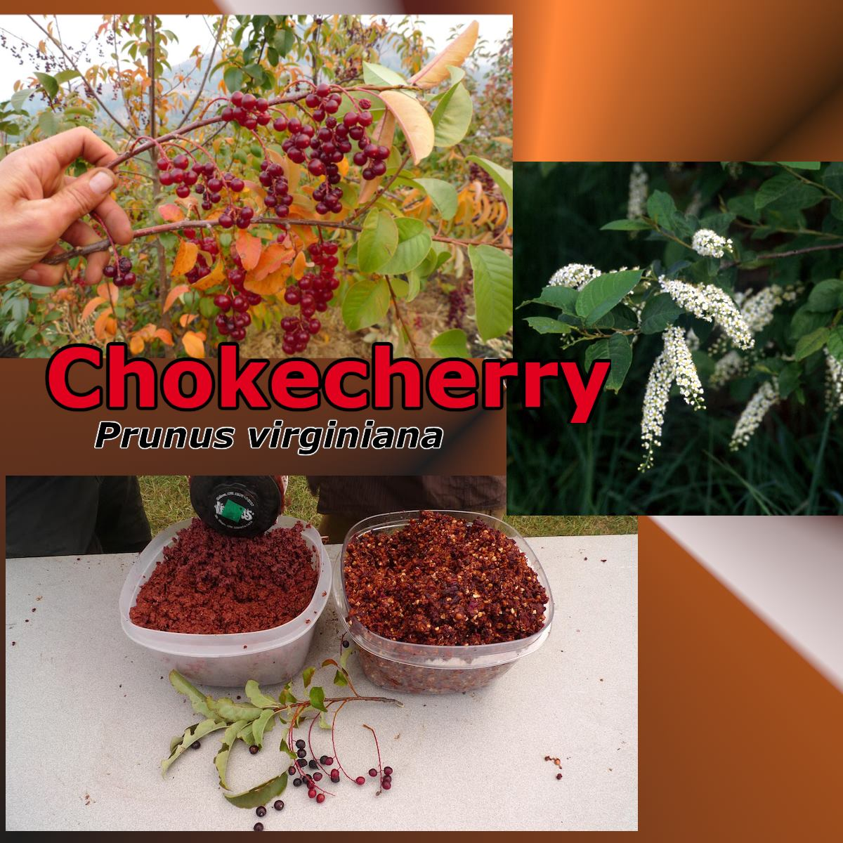 Photo Credit of the choke cherry fruits goes to Abe Loyd, see his blog on processing chokecherry here:  http://arcadianabe.blogspot.com/2012/10/chokecherry-from-dry-side-of-mountain.html
