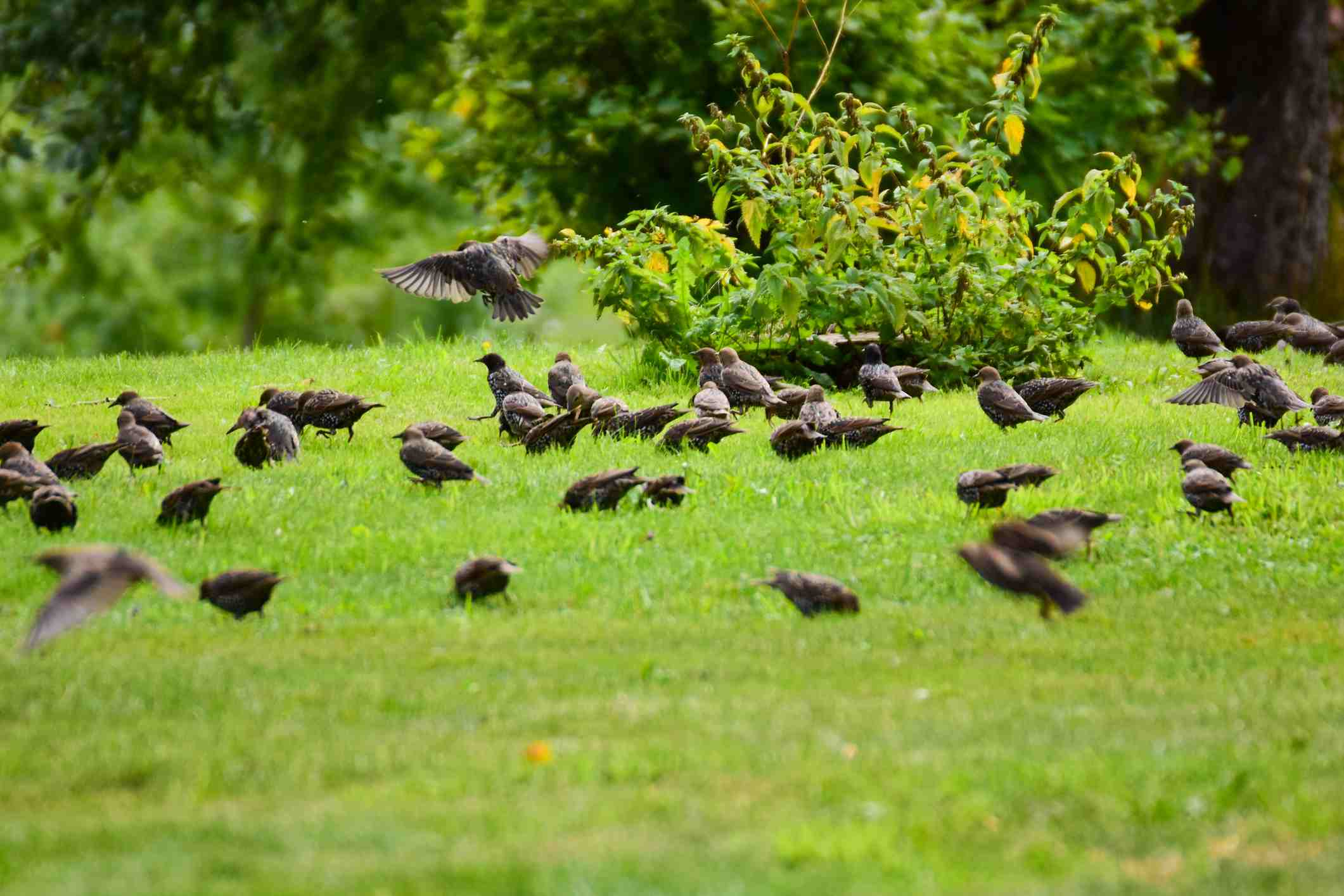 In the fall, European Starlings alternate between Tree/Shrub fruit foraging to ground foraging in lawns, fields, prairies, and farm fields that become invaded by whatever tree/shrub species they eat in mass if left unmown and/or unburned. Since the introduction of Callery Pears, Starlings have a new favorite item on the menu.