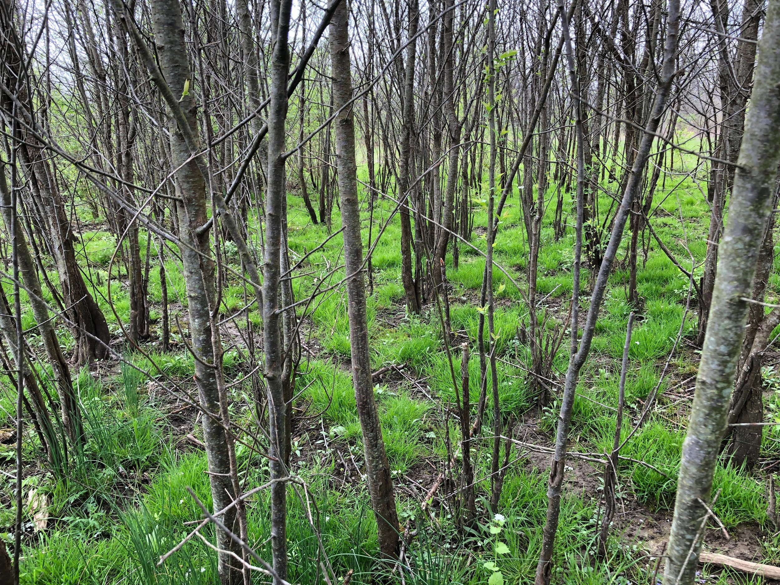 It is thought that native thickets are prone to invasion due to remnant populations often being draped in invasive plants, but this is a misinterpretation of the landscape. Most often native thickets are limited to artificial edges where they can't form an interior as pictured above. When native thickets are allowed to form continuous unfragmented communities within open landscapes, they close the niche to invasive woody plants like this Quapaw Wild Plum (Prunus hortulana) is demonstrating.