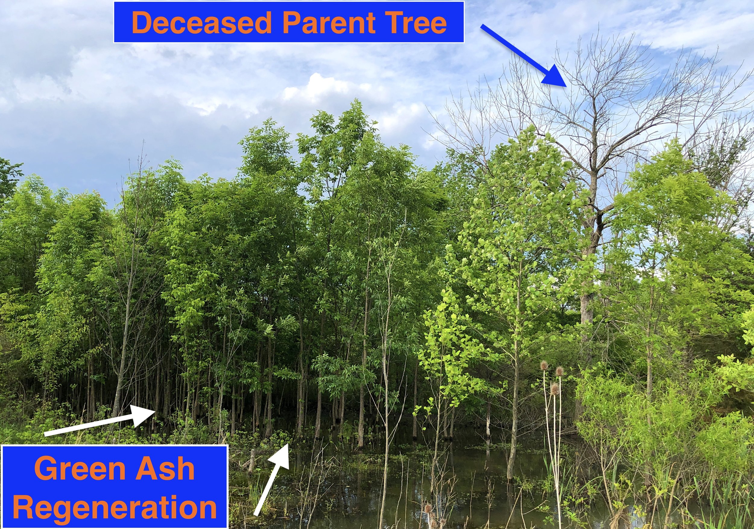 The first wave of EAB wiped out the mature ash trees at this site, but their offspring are still healthy a decade later.