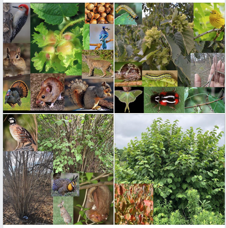 All of the fauna above are either specialists (the insects) or beneficiaries of 1 single thicket species, the American Hazelnut, demonstrating the biological value thickets provide to these communities. We exapanded on   Hazelnut biology on this post here  . But this is just one of many thicket species.