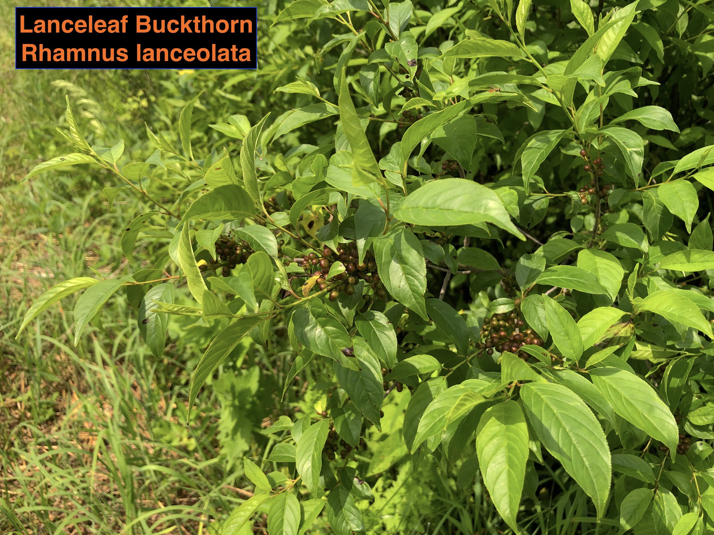 Best Lance leaf buckthorn .JPG