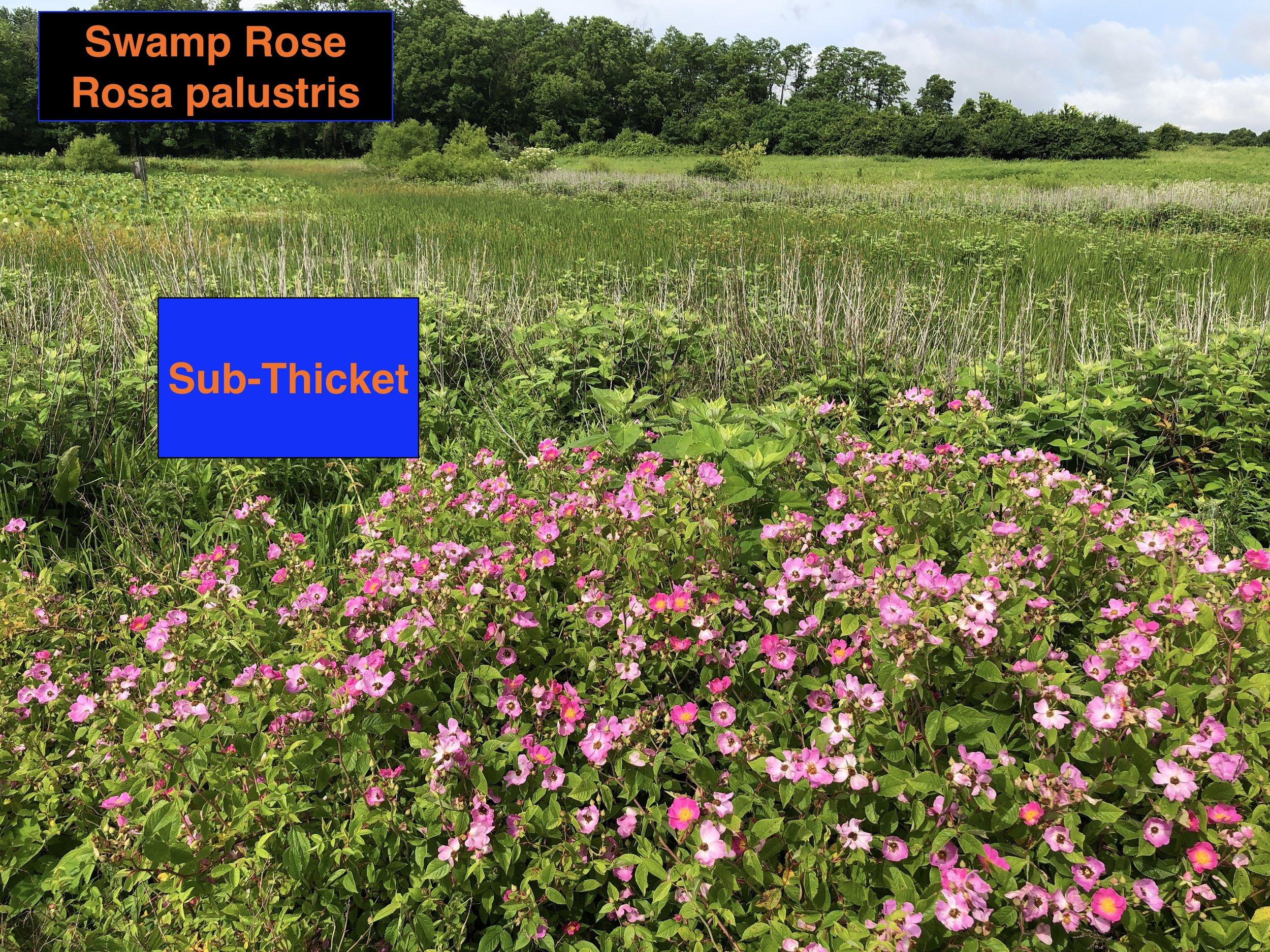 Swamp Rose thicket .JPG