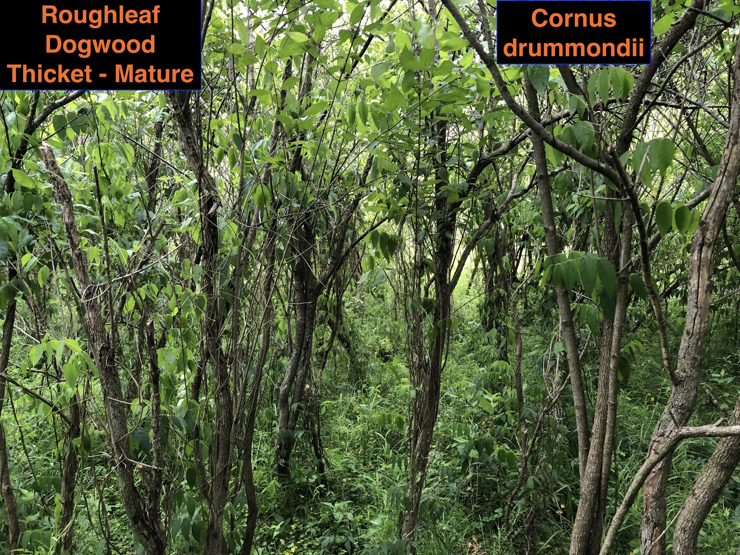 Roughleaf dogwood thicket .JPG