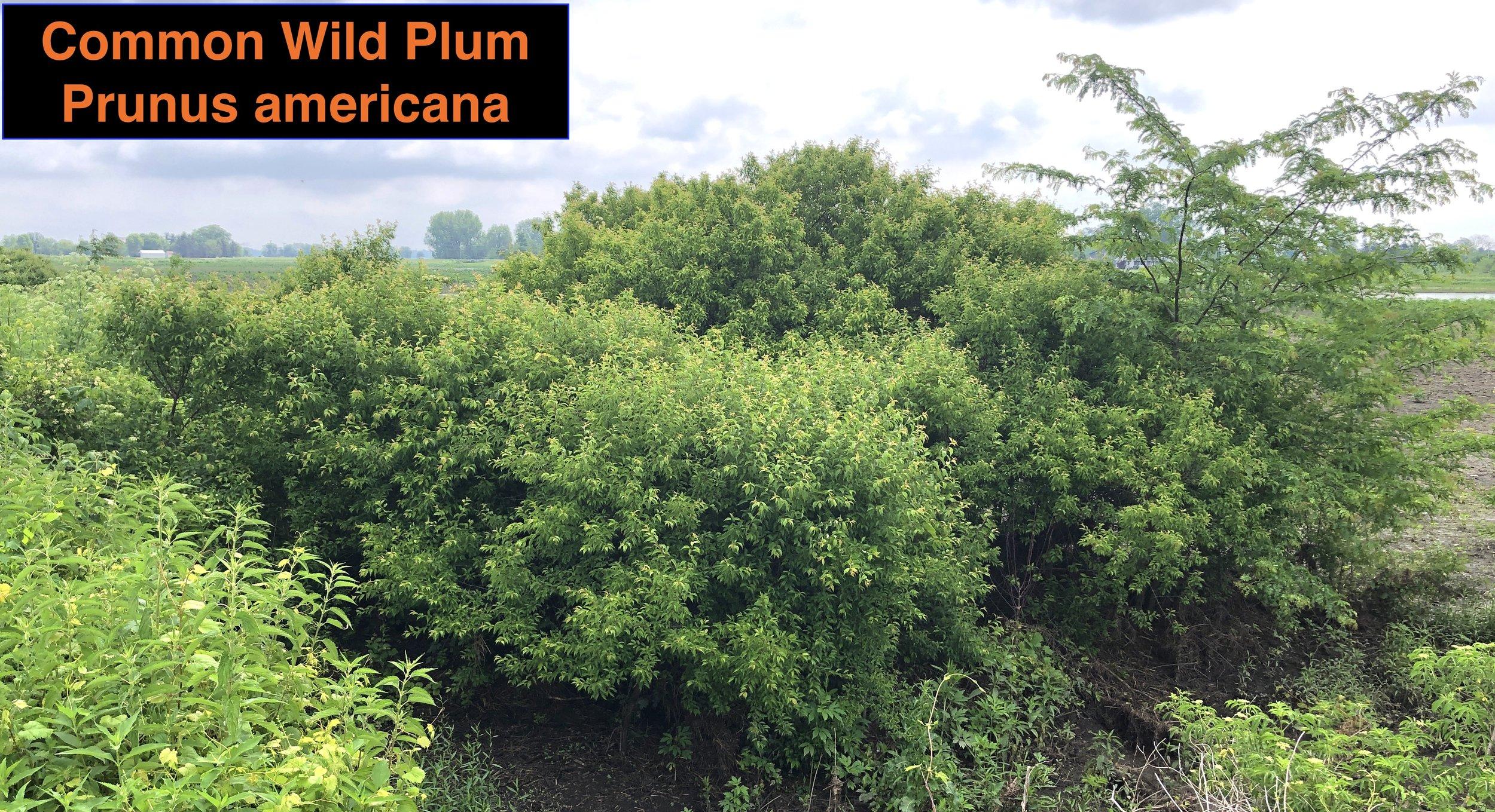 Wild Plum Thicket winner .JPG