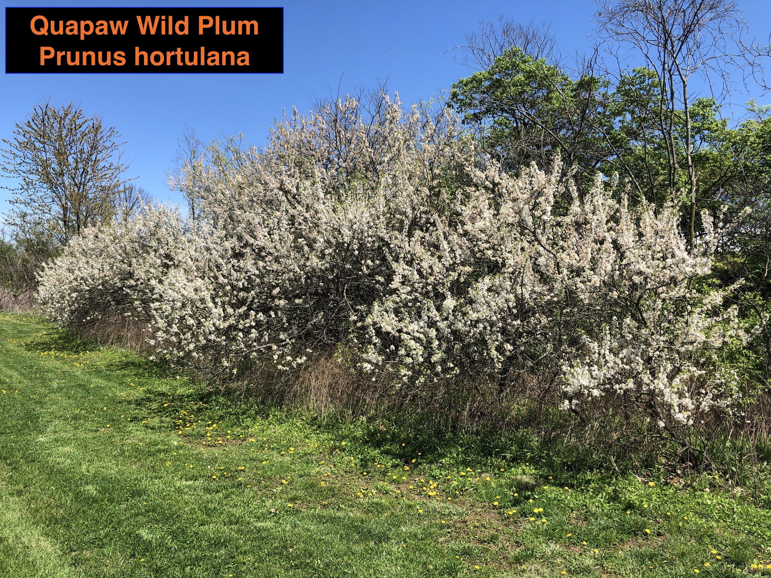 Wild PLum WInner 2 .JPG