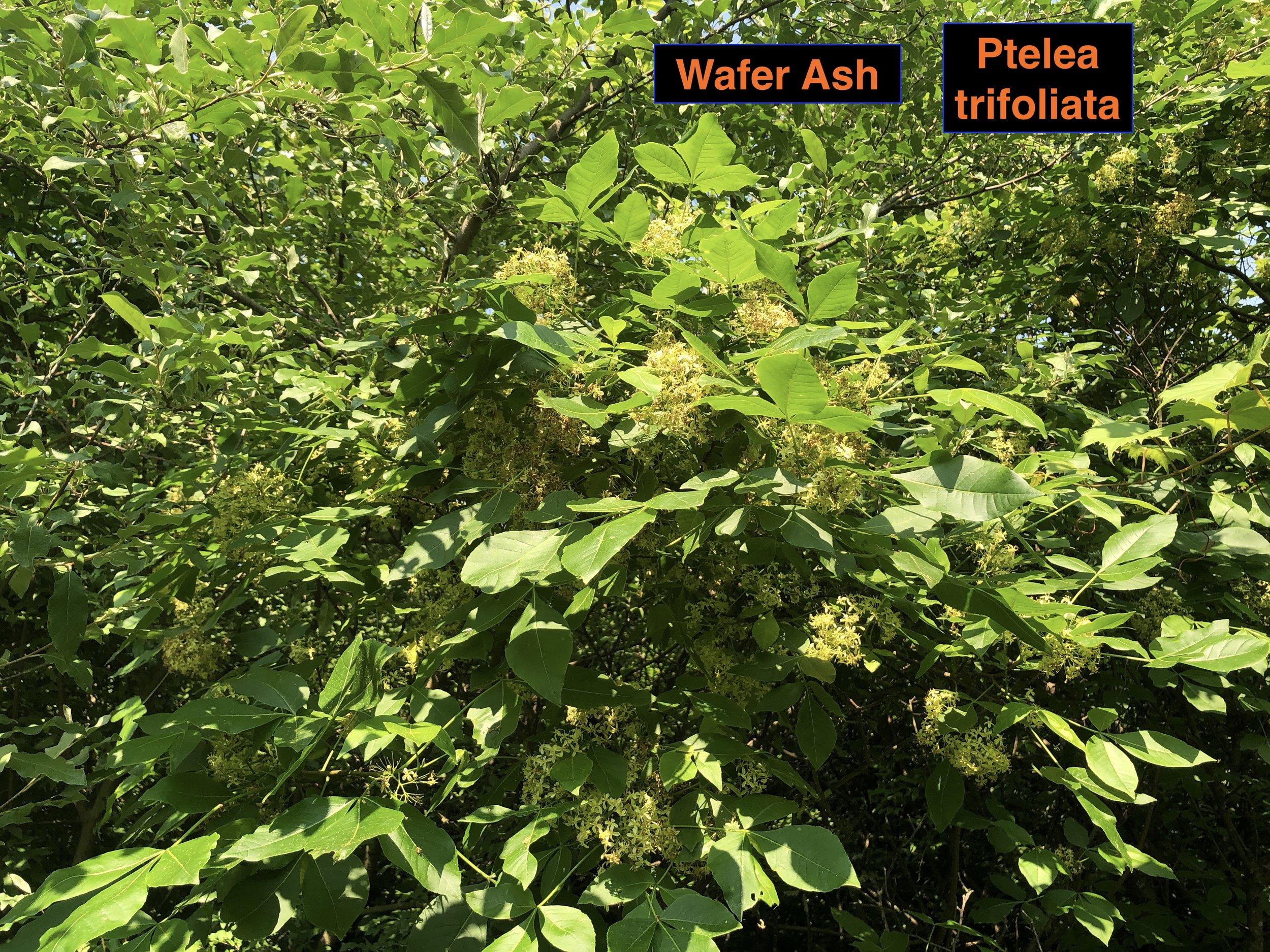 Wafer ash flower best .JPG