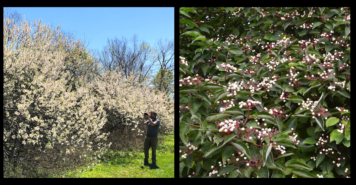 The early spring blooms of Wild Plum species (left), and mid to late summer fruiting of Dogwood species (right) plus their presence as insect host plants rebalances and increases the biological value of prairies.