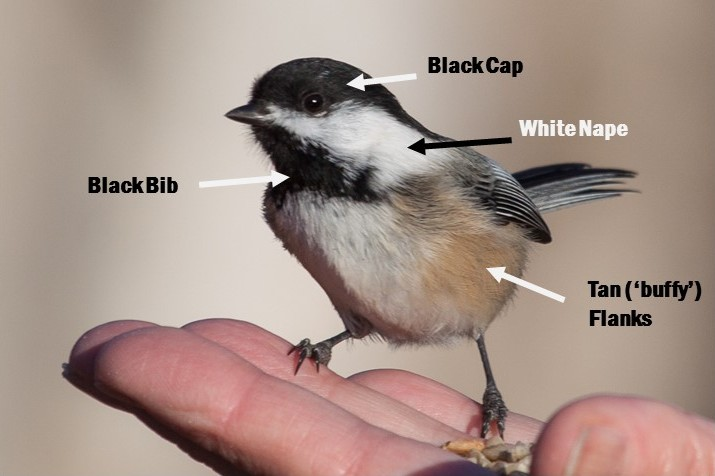 Identify the Black-capped Chickadee