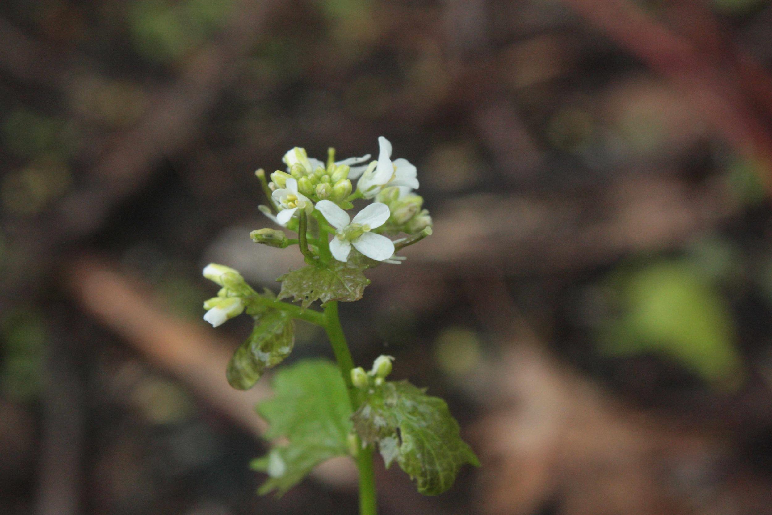 garlic-mustard-flower.JPG