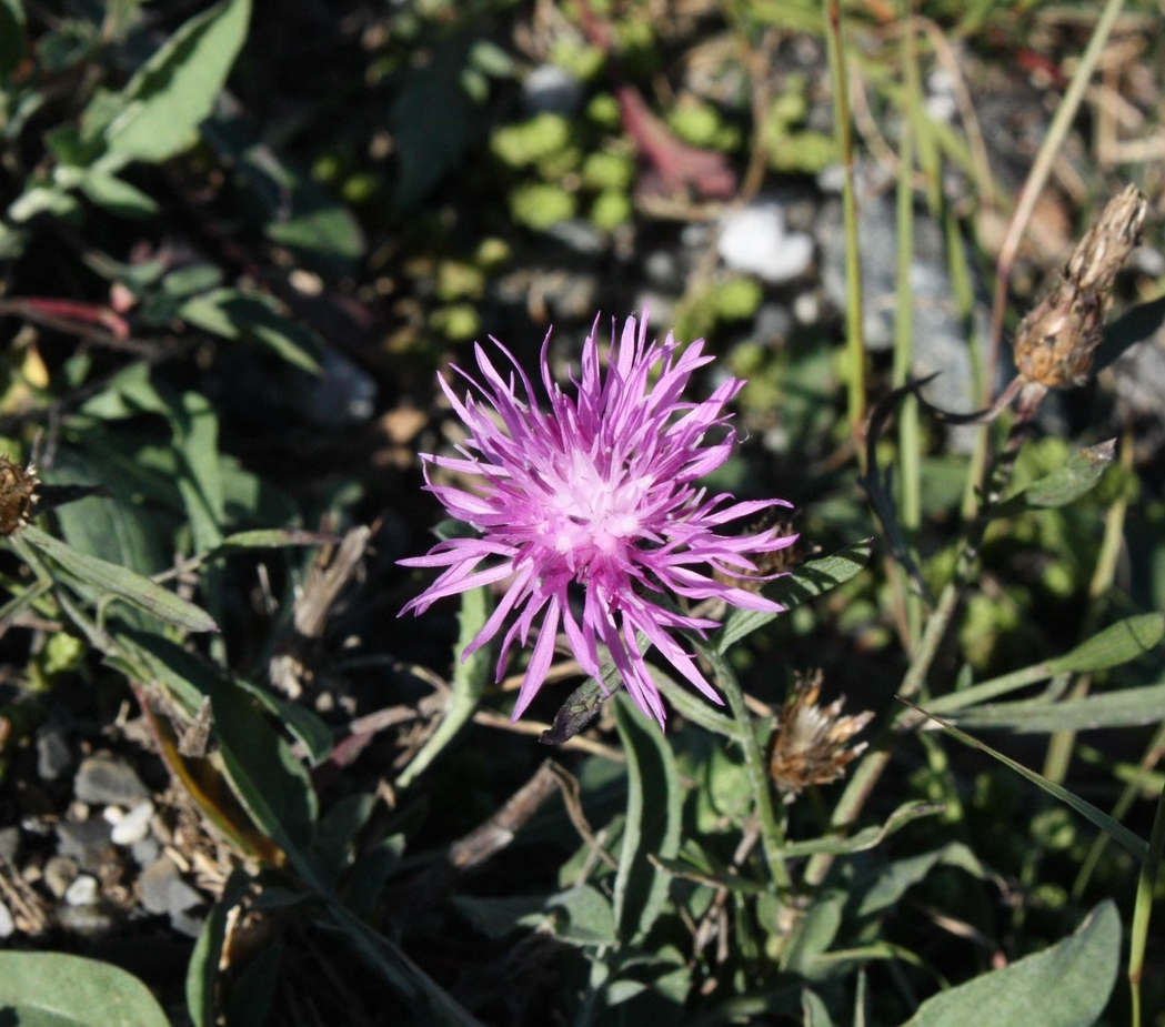spotted-knapweed-small