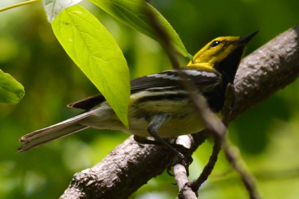 black-throated-green-warbler-hike-ny