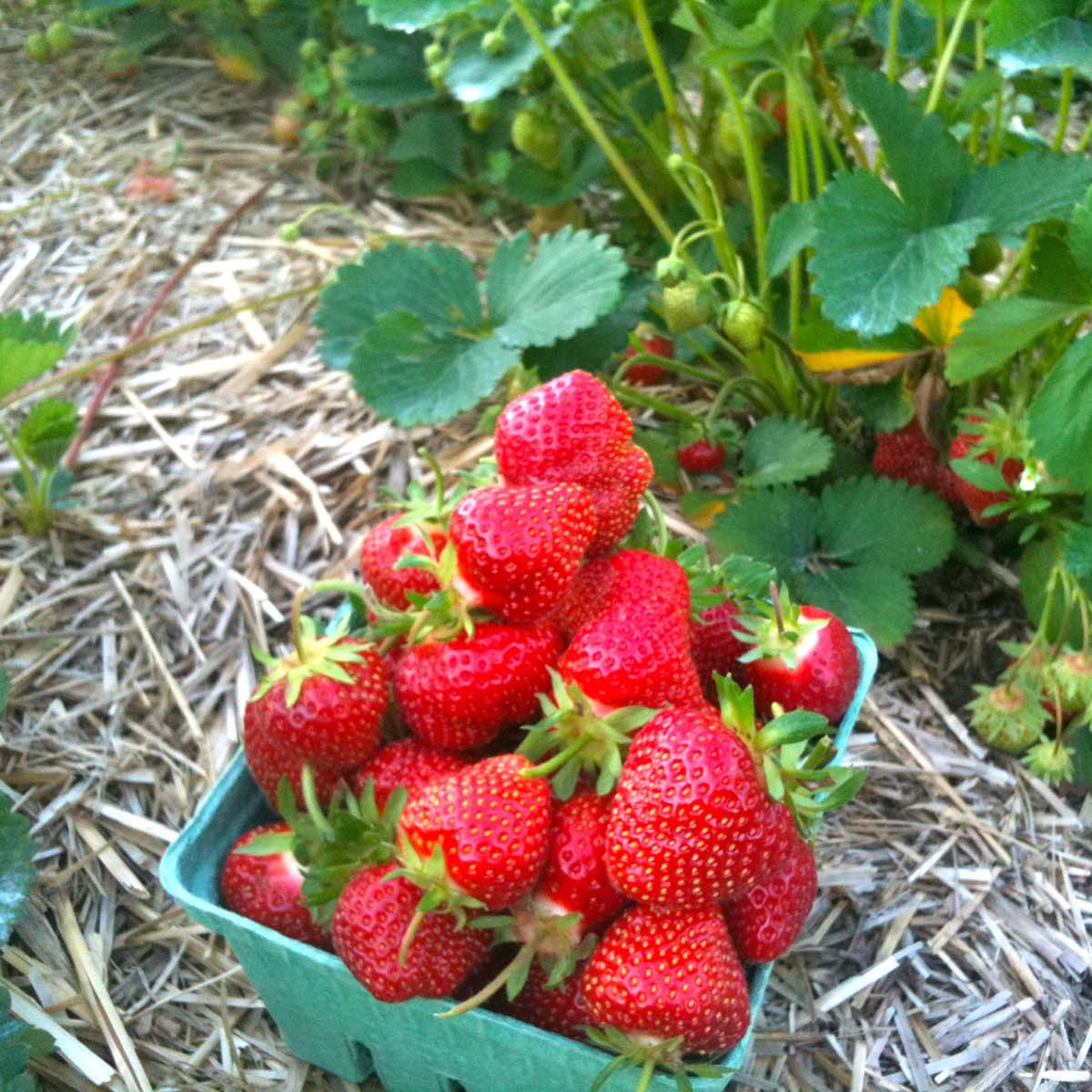 pell farms strawberry2 sq.png