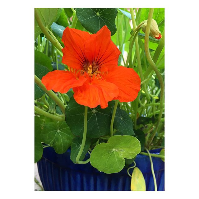 First nasturtium flower! They're such stunning plants, and taste pretty great too! Let's hope I get enough to make some fancy salads! #growyourown