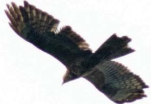 We discuss the plumage details of the only 2nd CY Honey Buzzard ever seen during more than 10 years of autumn migration counts at Batumi, Georgia.