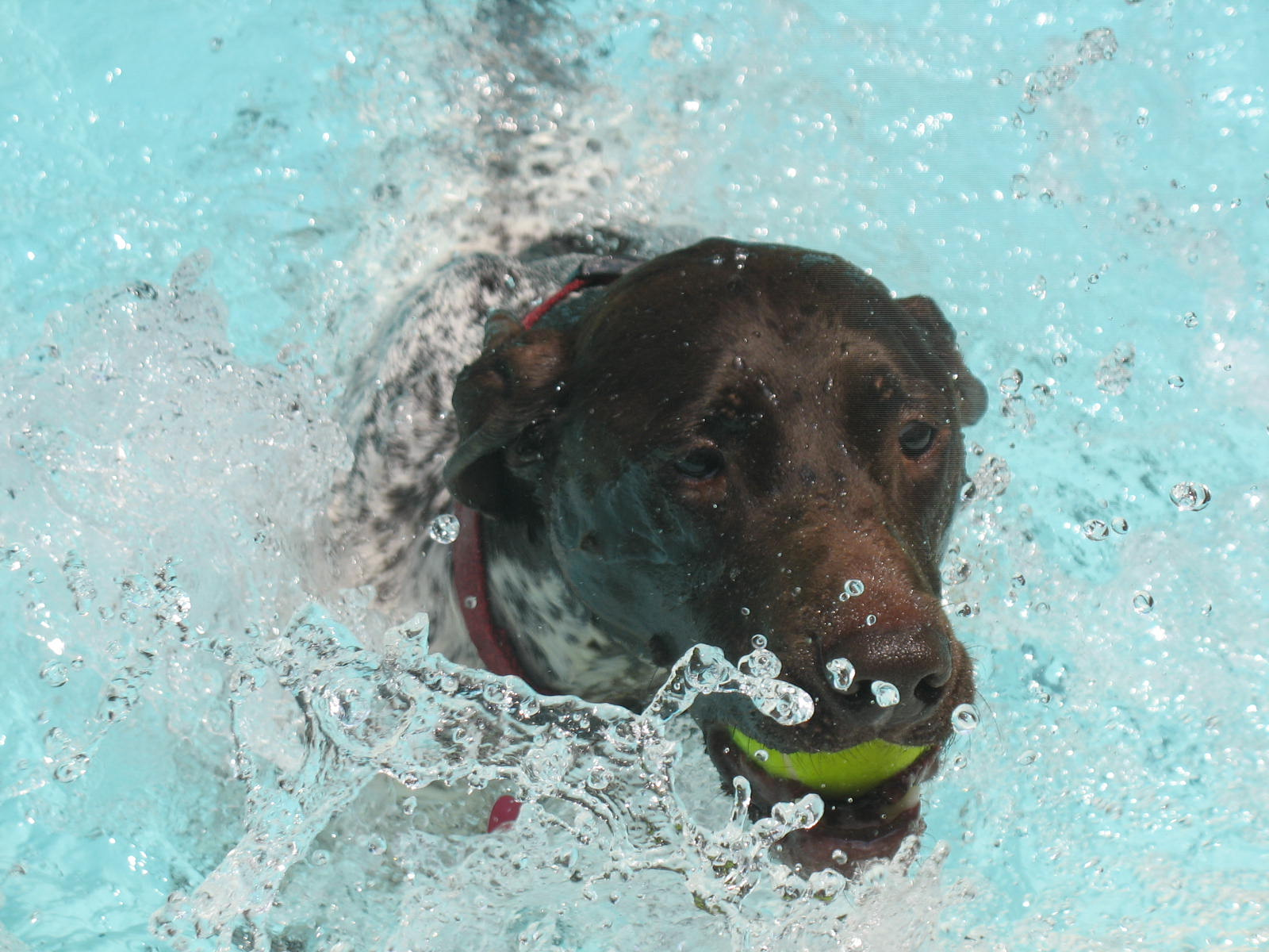 Labs love to swim!