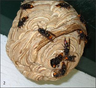 Frelons asiatiques en alerte sur un nid