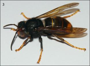 Frelon à pattes jaunes ( Vespa velutina nigrithorax )  L'abdomen est noir, cerné de deux liserés fins jaune-orange et d'un segment orange. Les pattes sont jaunes, le thorax noir, et la tête orange et noire. L'ouvrière mesure entre 17 et 26mm. La reine peut atteindre 32mm.