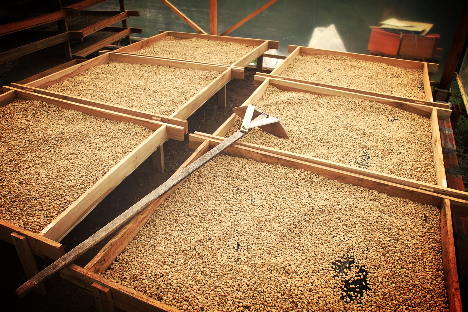 Drying coffee beans...