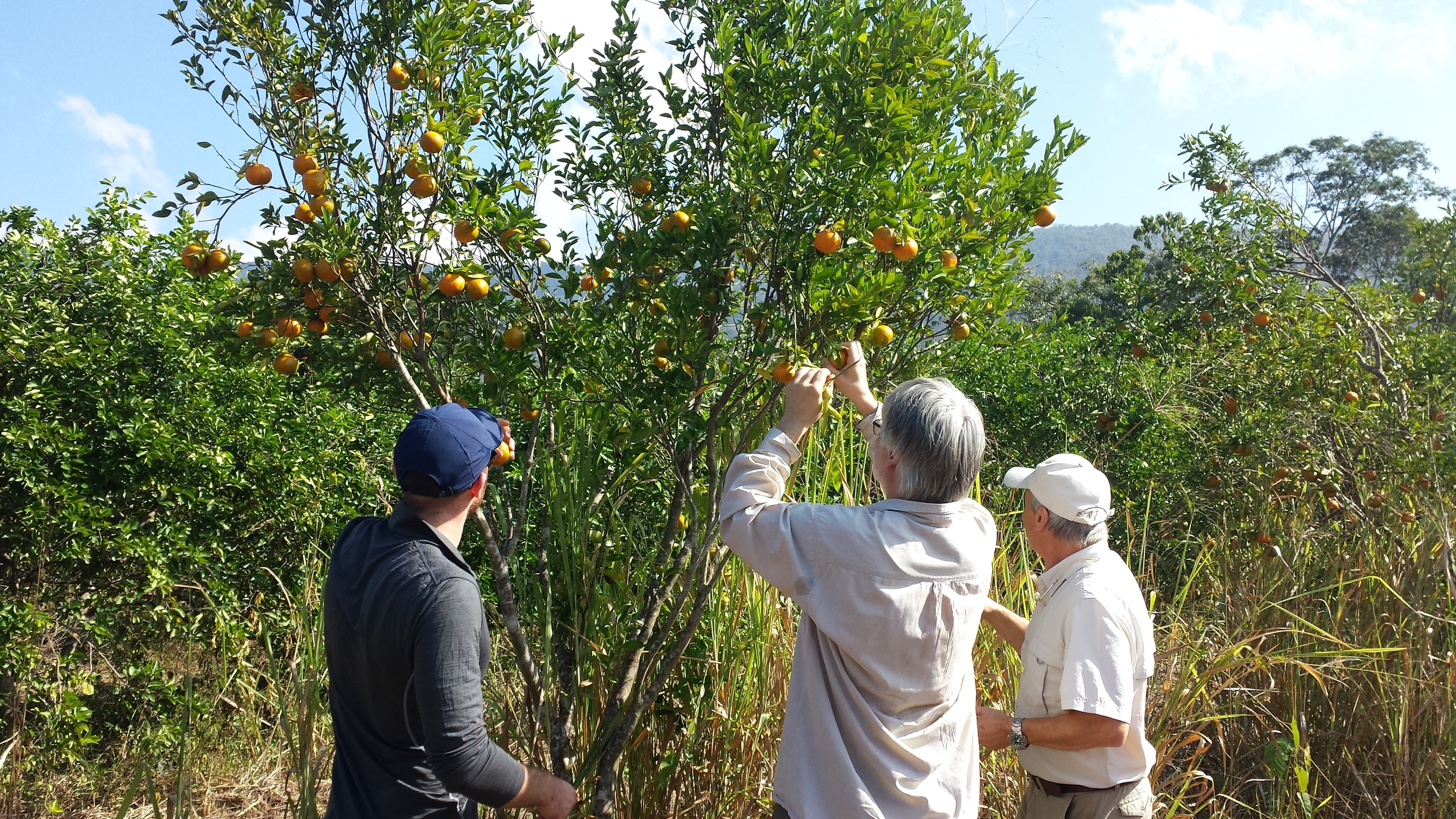Oranges, Hacienda San Cayetano