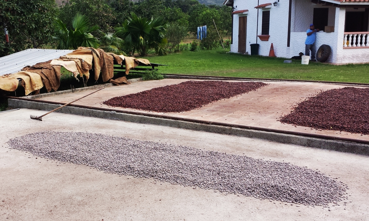 Cocoa beans drying in the sun‏