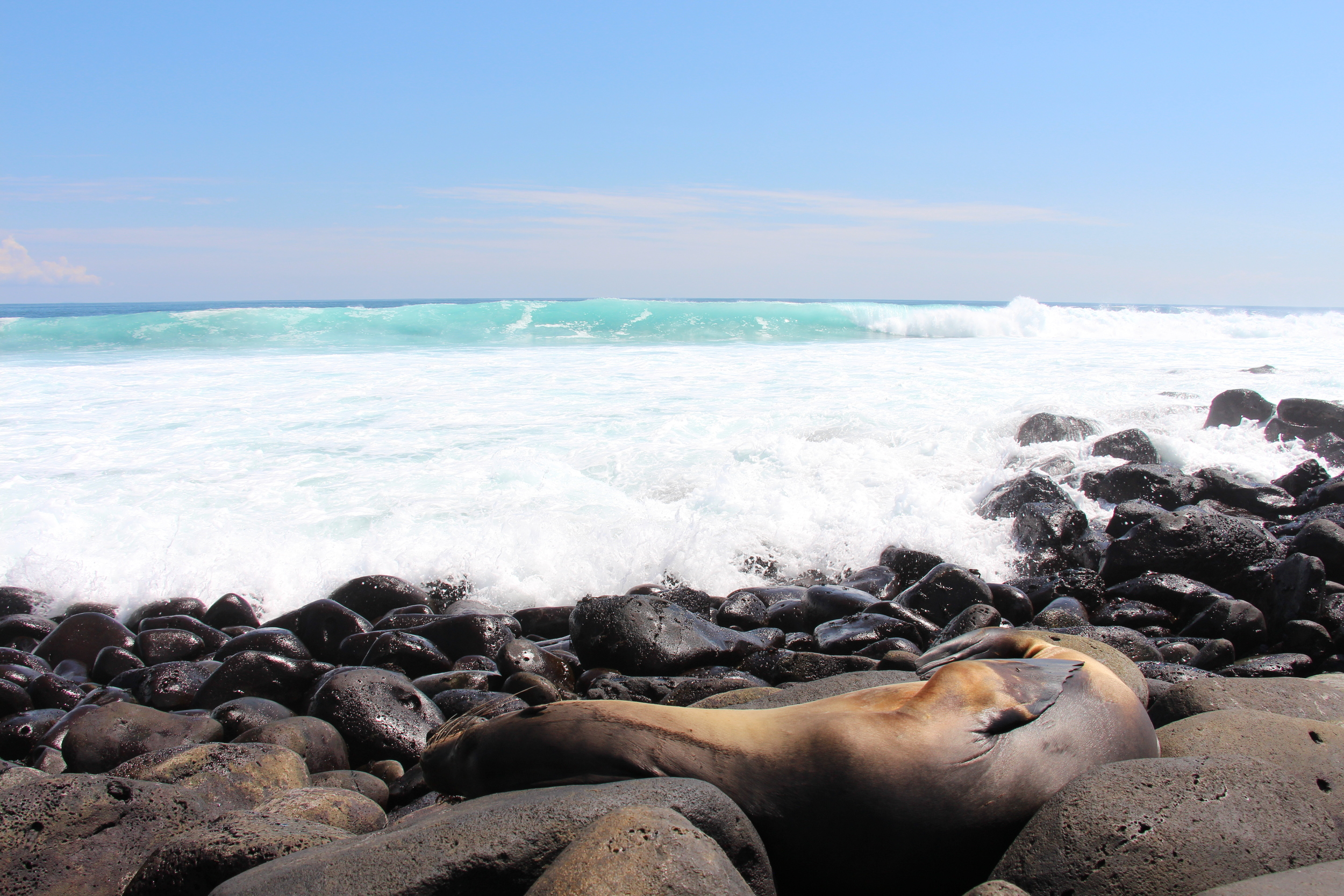 Sea Lion waiting for a refreshing wave