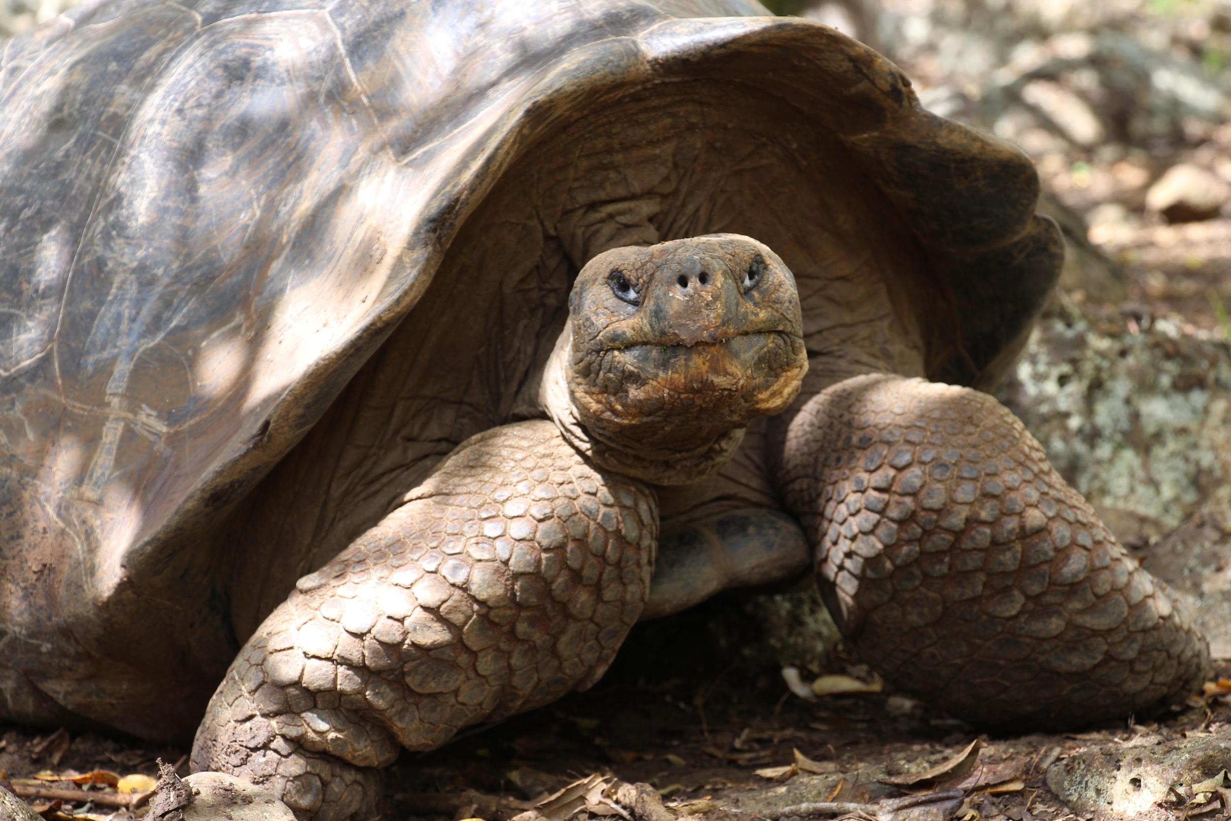 San Cristobal Giant Tortoise