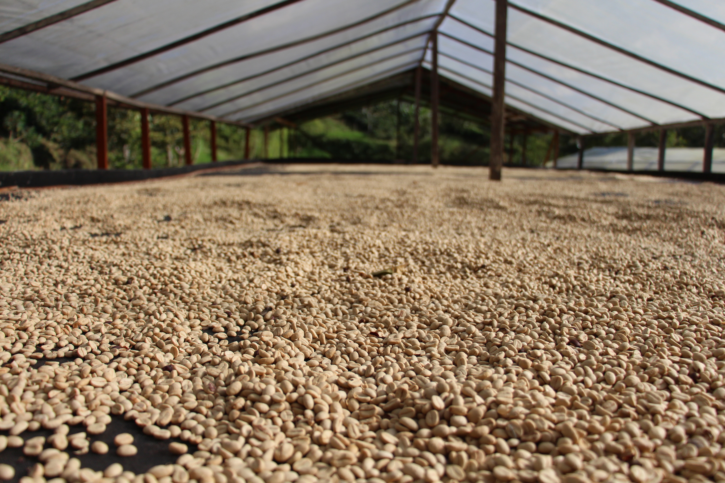 Coffee 'marquesina' at Finca La Isla