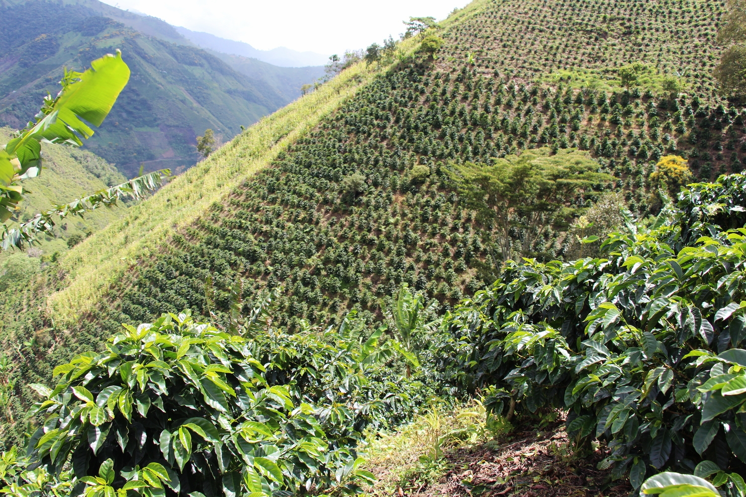 Coffee is cultivated on very steep hills - Finca Buenavista
