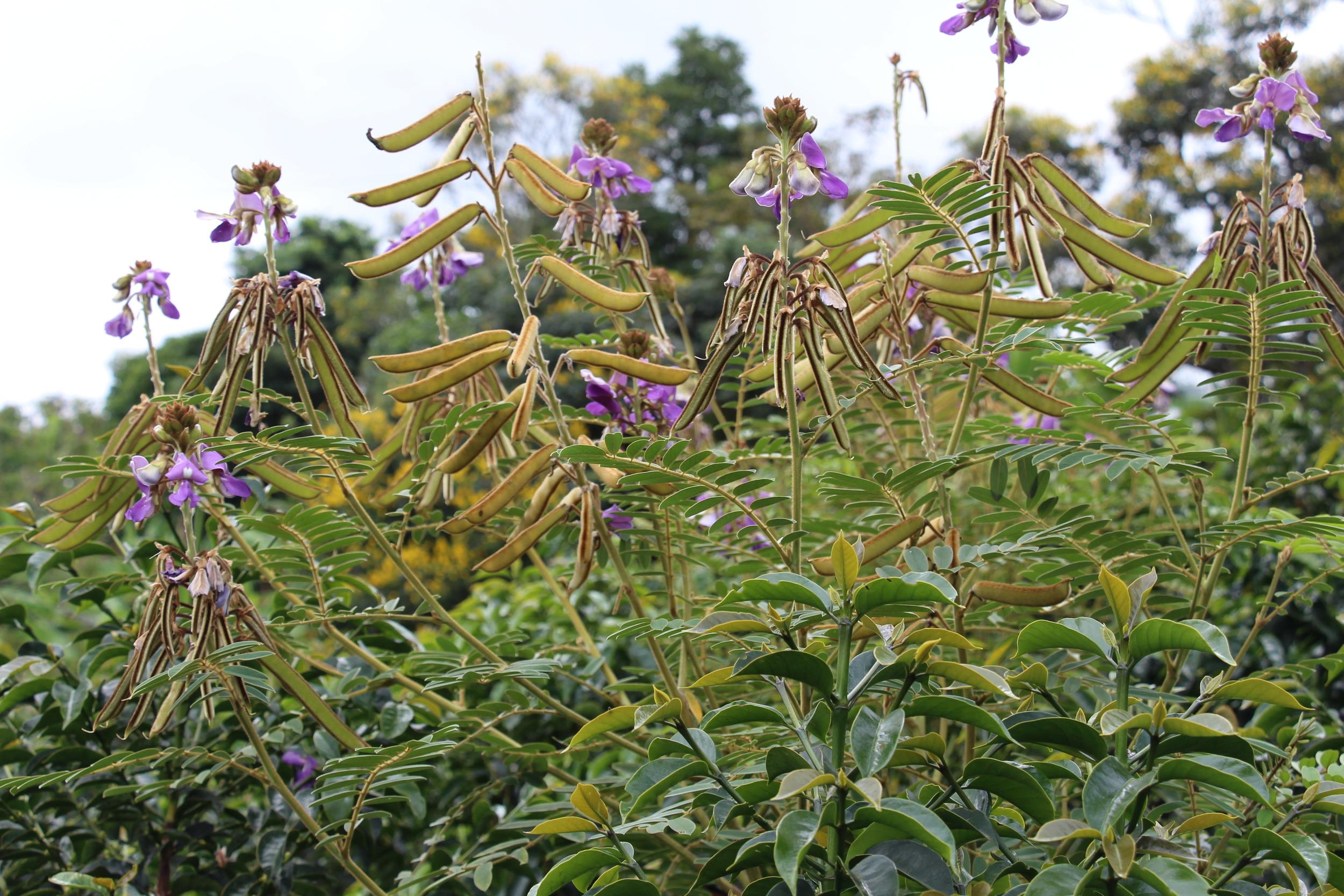 Tephrosia plant - used as nitrogen fixer for the soil