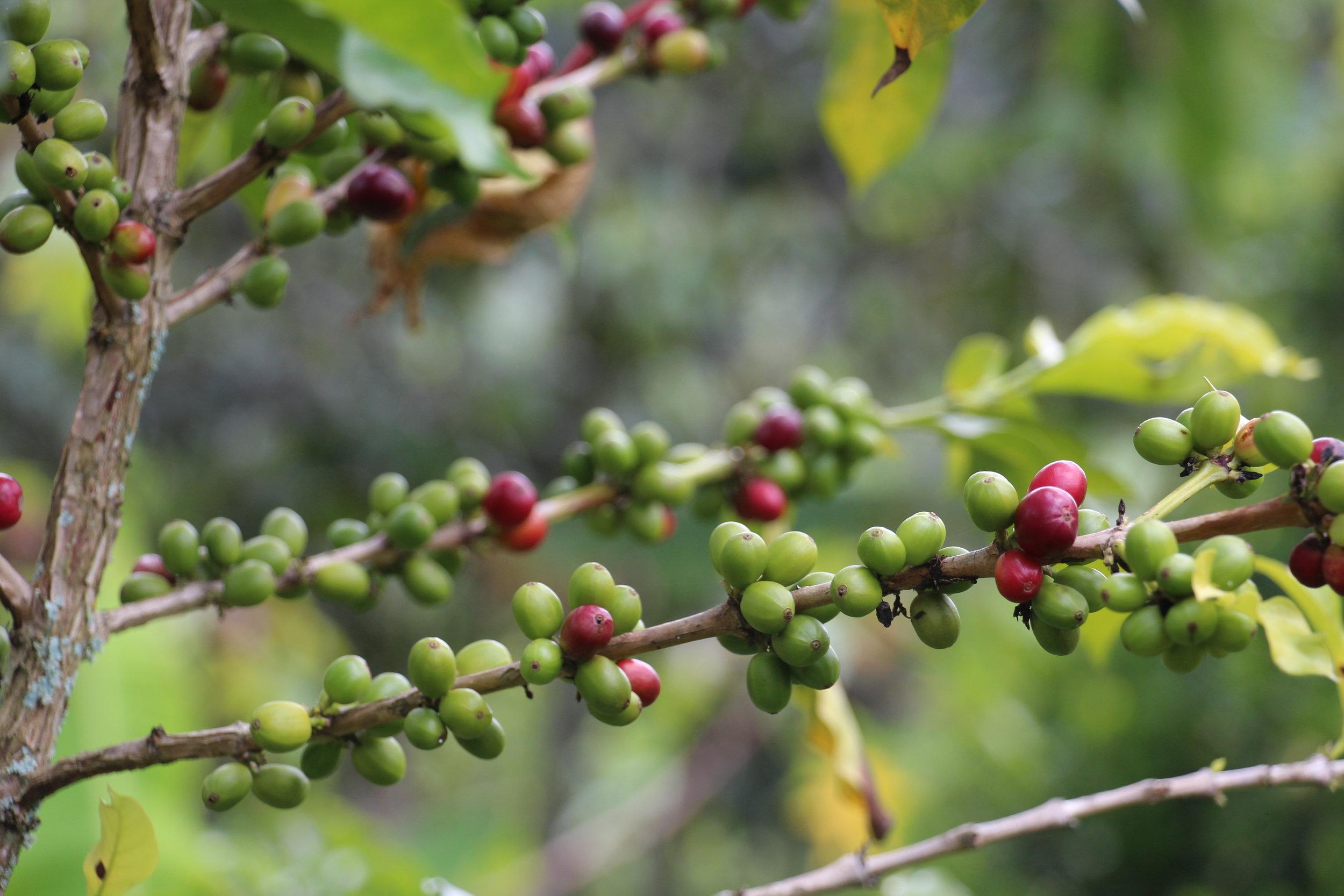 Coffee ripening