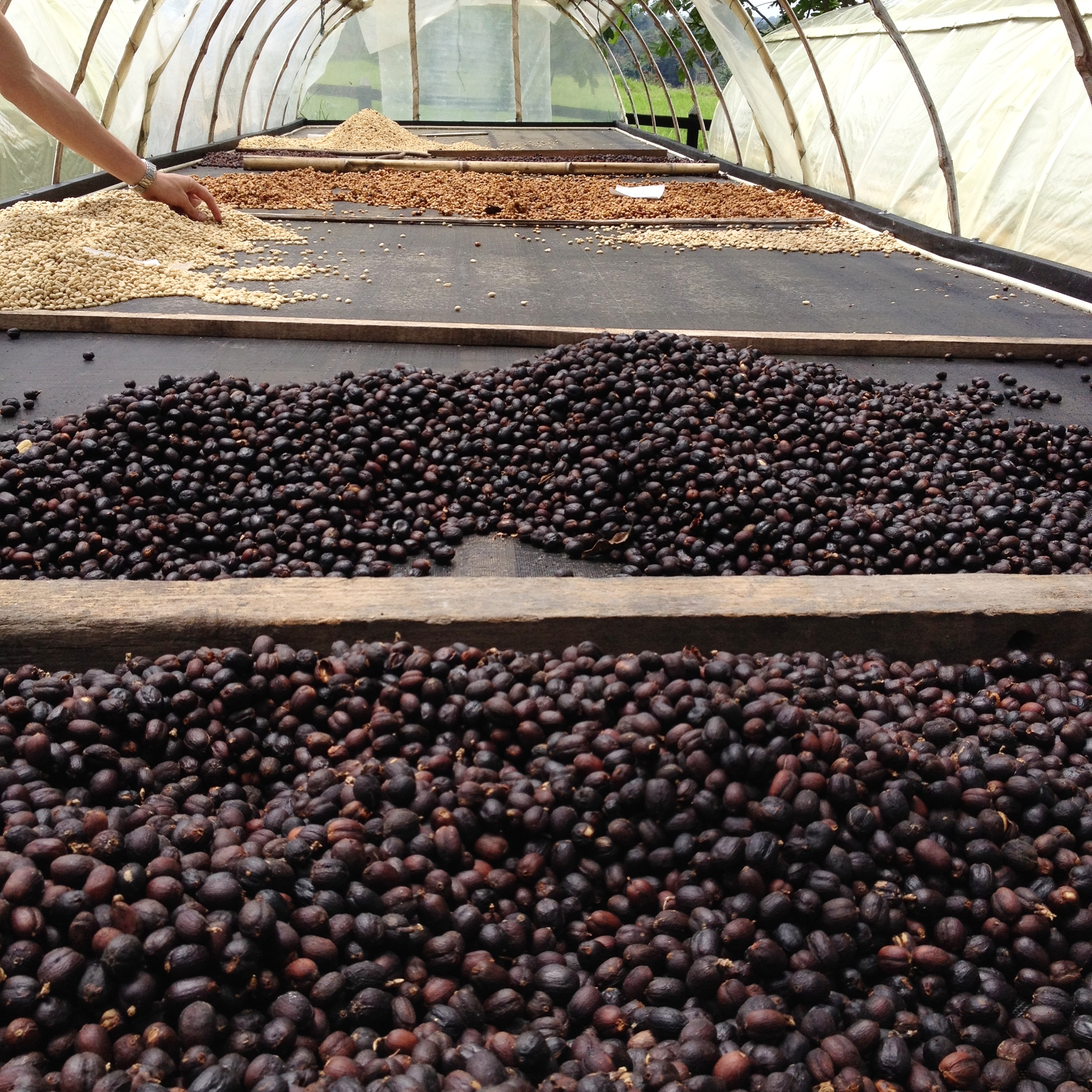 Natural coffee drying