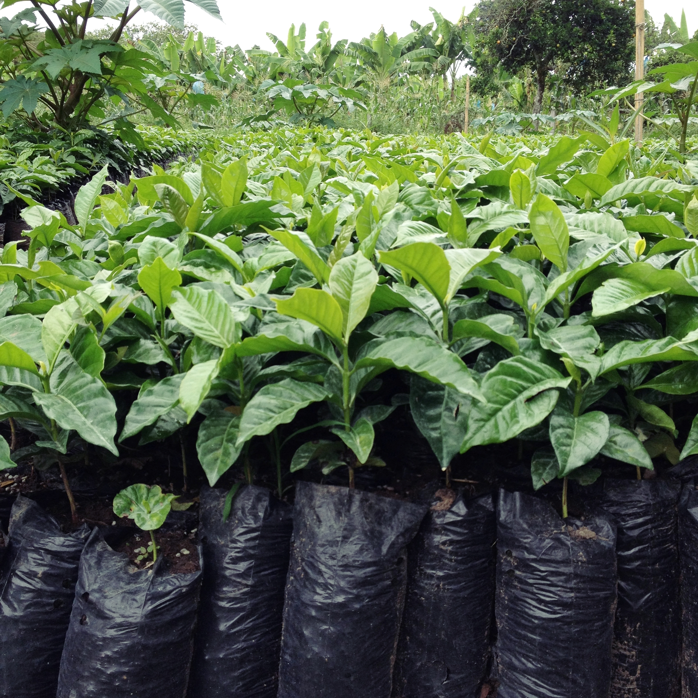 Coffee tree nursery