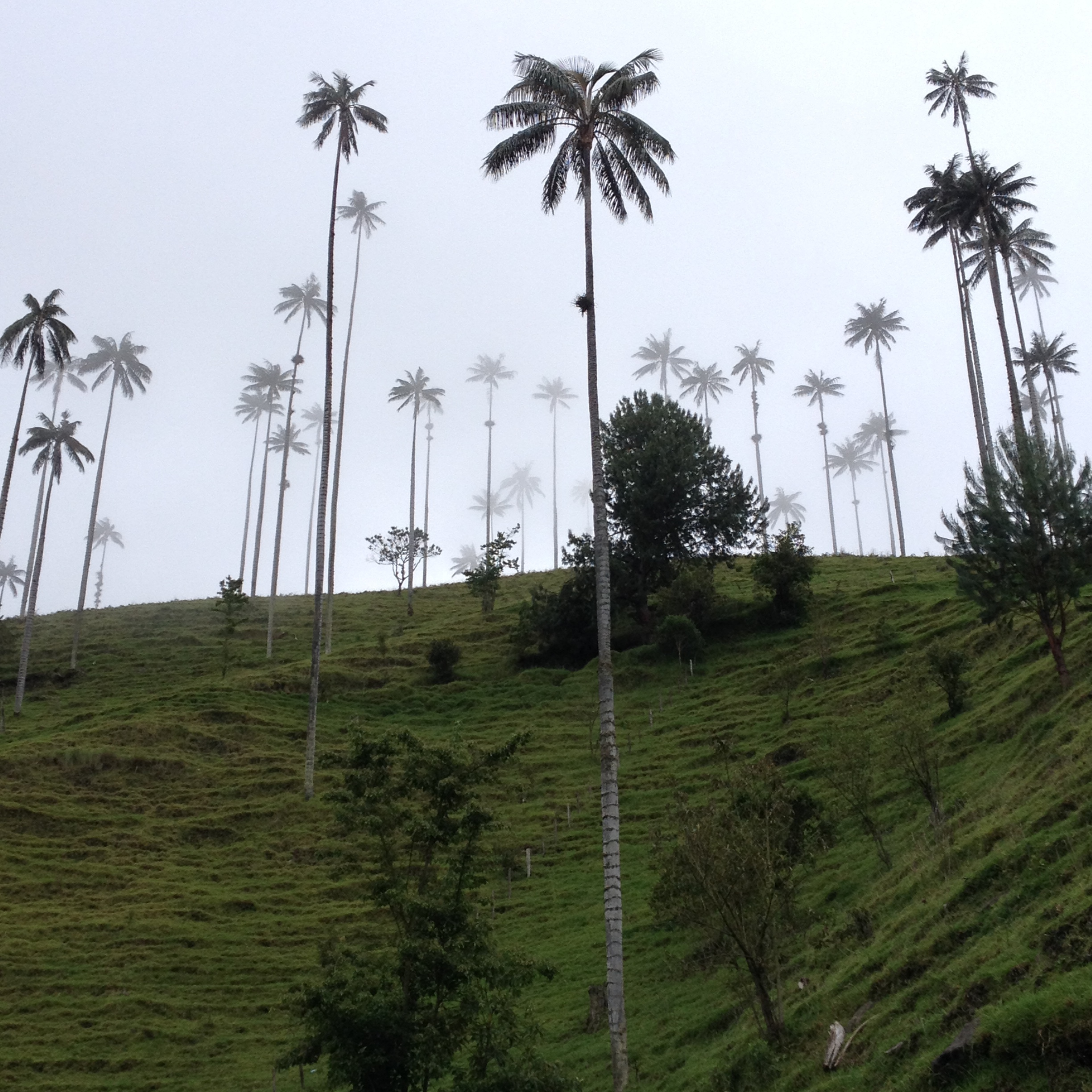 Wax palm trees in the Cocora valley