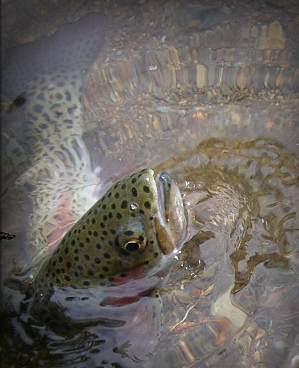 Beautiful, wild rainbow trout.