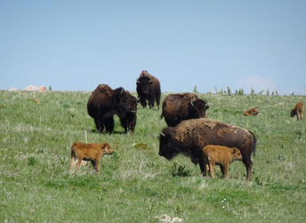 It's a joyous time of newborn calves in the large buffalo herd!