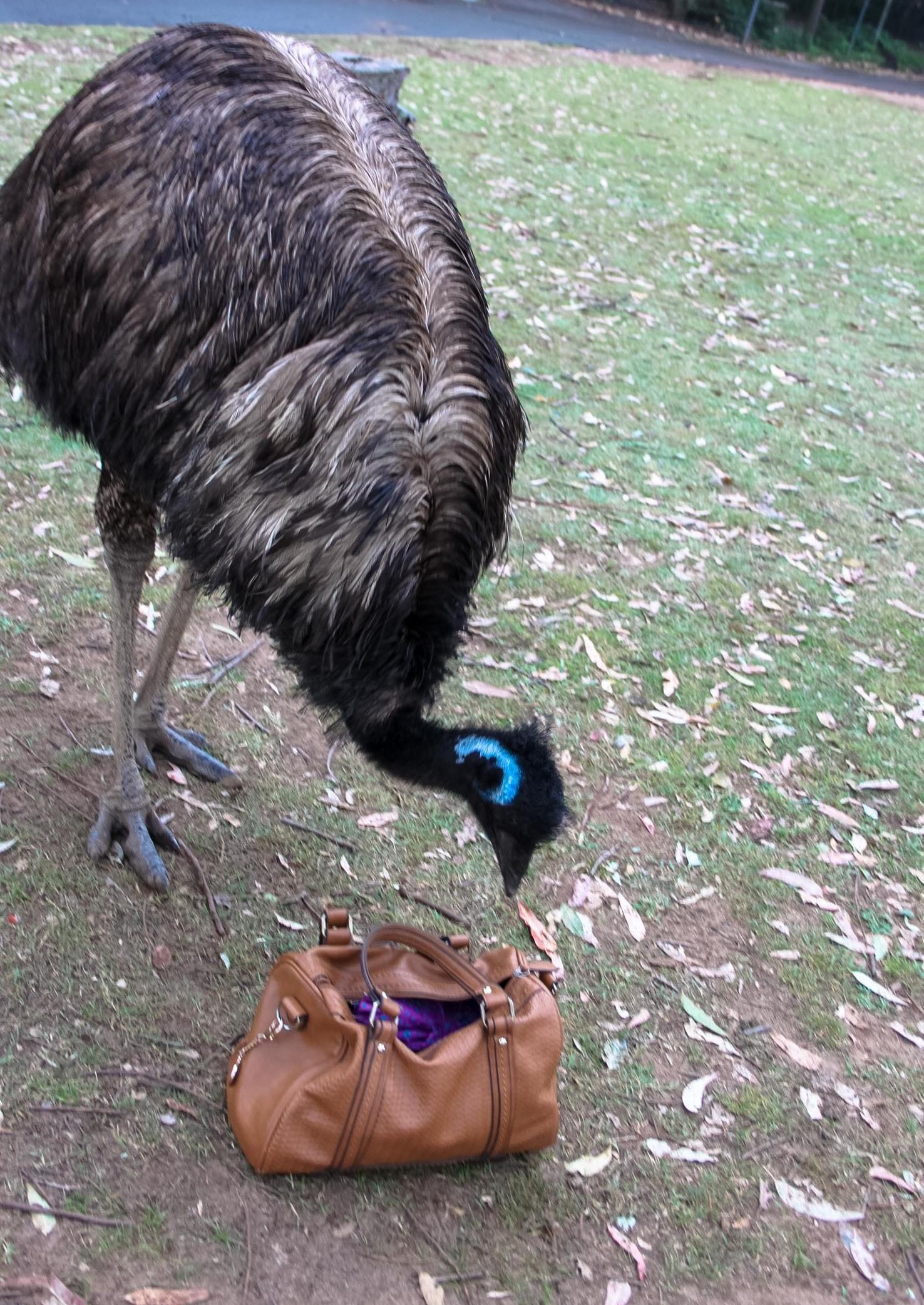Emu sneaking through my handbag!