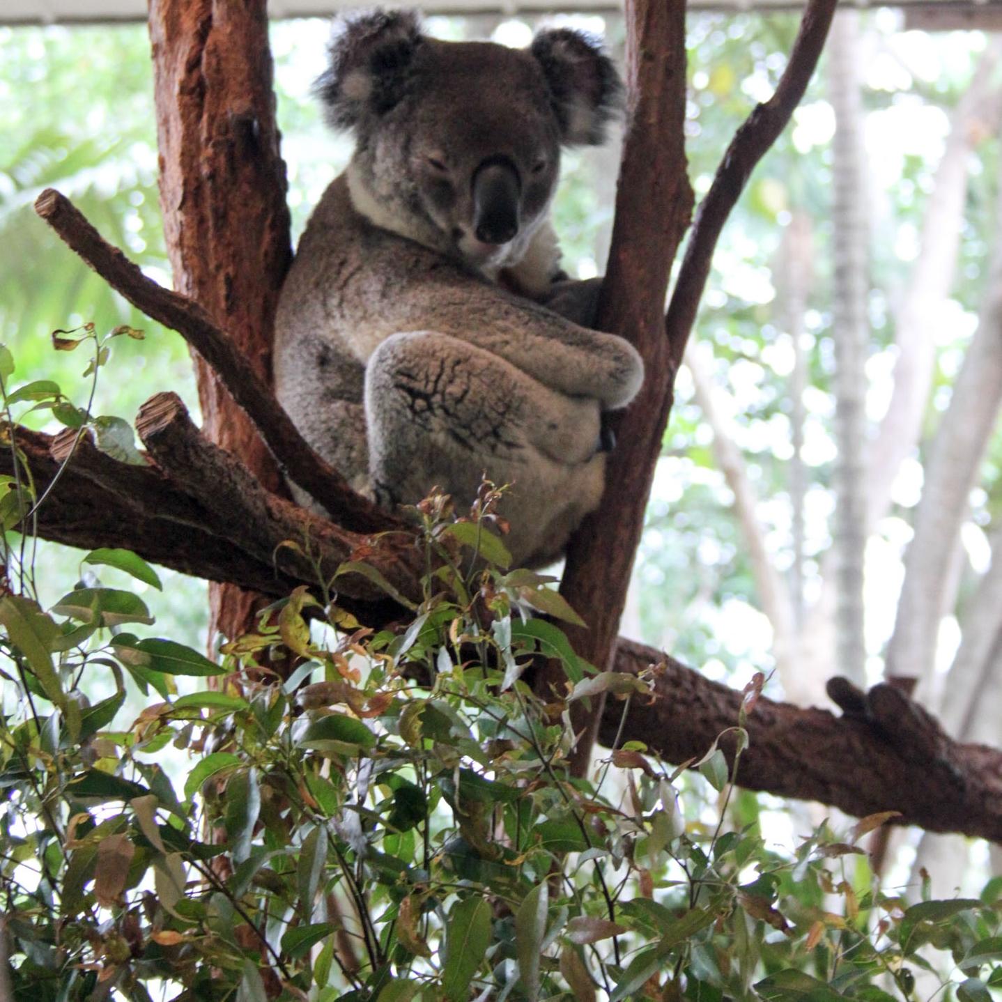 Sleepy Koala at Lone Pine Koala Sanctuary