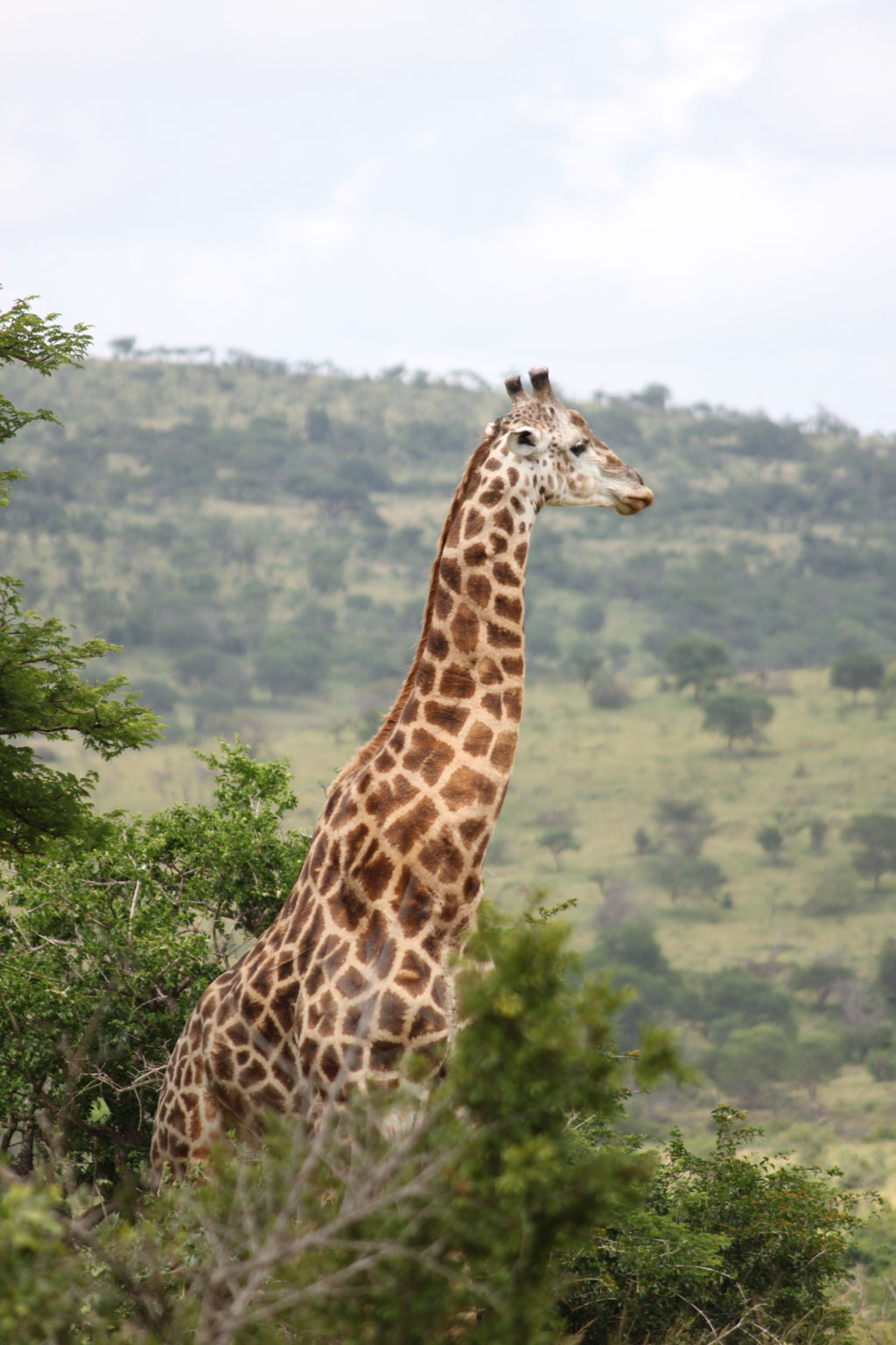 Giraffe, St Lucia, South Africa
