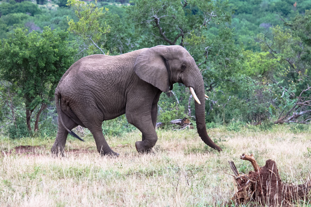 Holiday Destinations in South Africa - Elephant in Hluhluwe Imfolozi Park