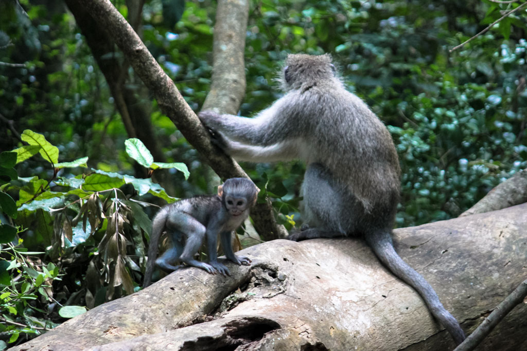 Holiday Destinations in South Africa - Monkey and baby in Monkeyland, South Africa